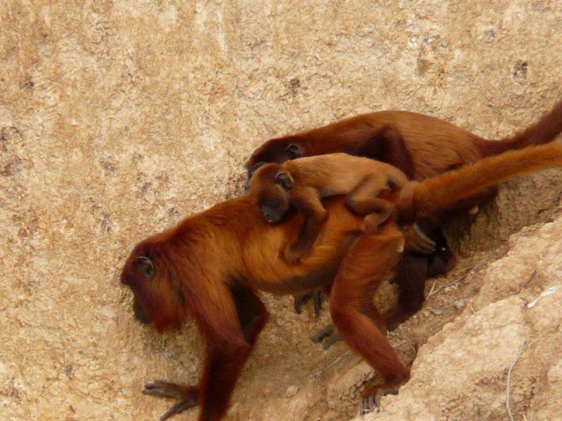 Wild Amazon – Macaw Clay Lick Chuncho 3 Days